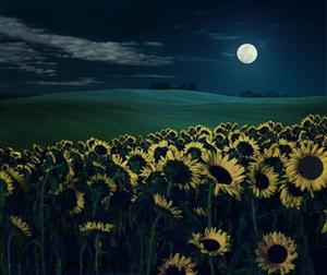 夜晚的向日葵