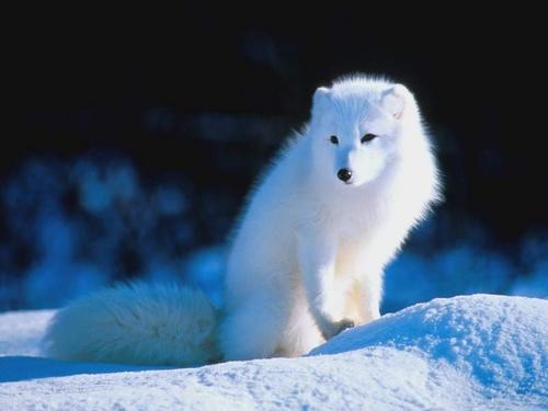 白狐(笛子)