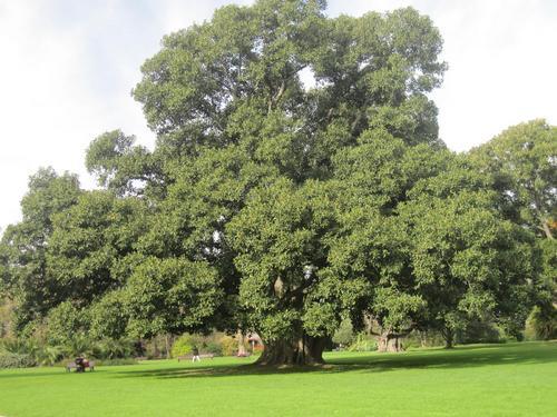 好大一棵树,任你狂风呼, 绿叶中留下多少故事, 有乐也有苦.