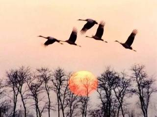Swan Goose 鸿雁(小提琴)