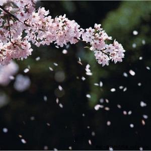 樱花为谁舞